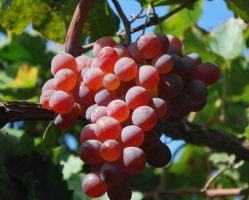 longyan-grape